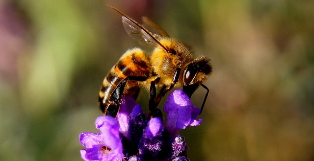 včela a levandule